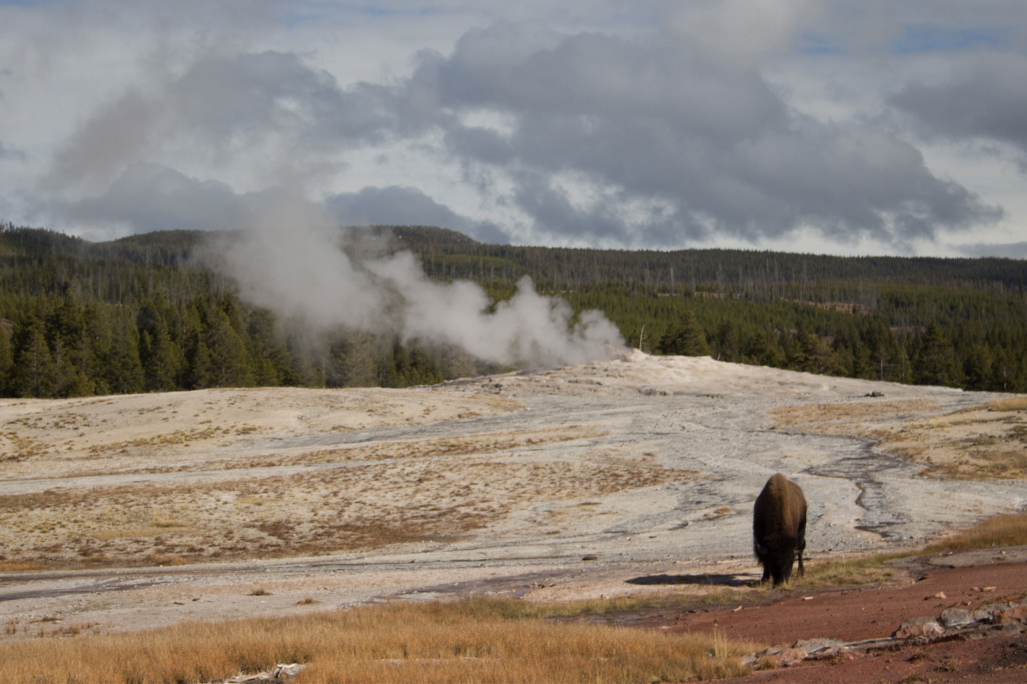 Old Faithful with Bison, Yellowstone National Park