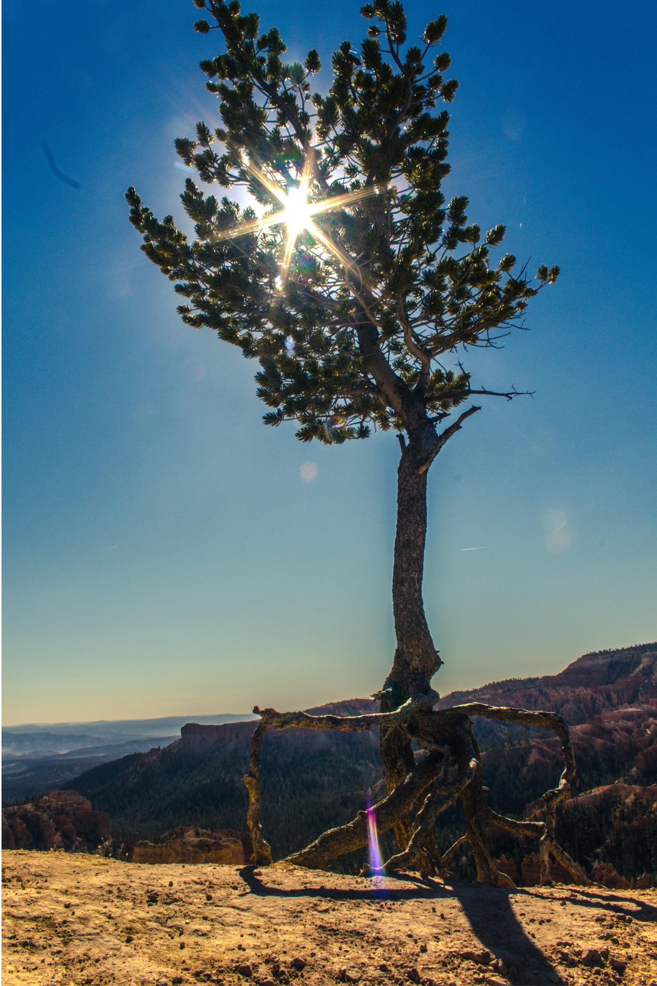 Walking-Tree,-Bryce-Canyon-National-Park